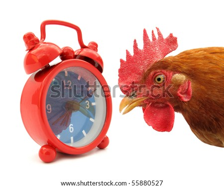 Cock chanticleer rooster and alarm clock