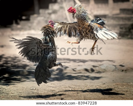 Cock Fighting in Bali, Indonesia