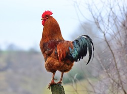 cock on the fence in the morning