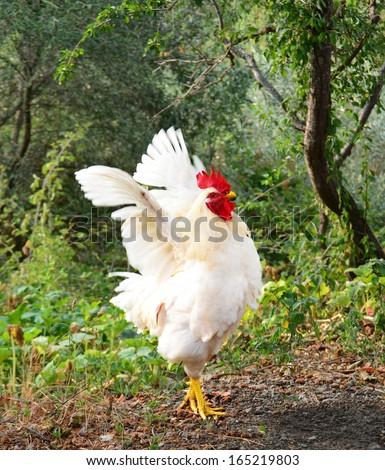 cock open wings