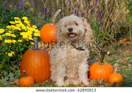 Cockapoo Dog in a Fall Theme