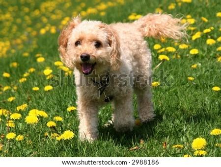 cockapoo in a meadow #2988186