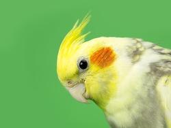 Cockatiel bird studio shot