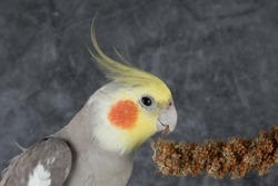 Cockatiel Eating treats isolated on gray background, best parrot pictures. copy space