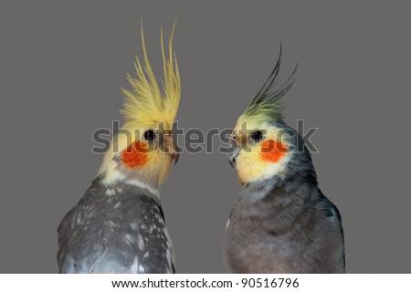 cockatiel pair close-up