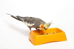Cockatiel parrot eats from a yellow bowl with a forage on a white background.