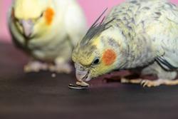 Cockatiel parrots couple eating seeds close up