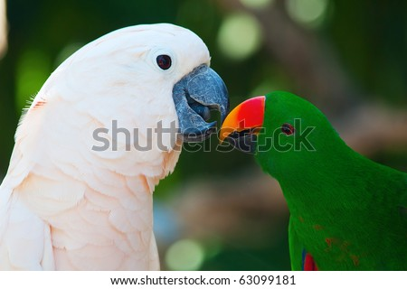 Cockatoo and the male eclectus parrot