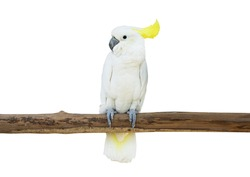 cockatoo bird perched tree branch isolate white background clipping path
