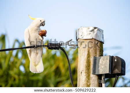 Cockatoo  eating a Passion Fruit on a power line in a suburban street #509629222