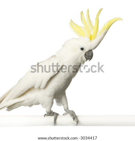 Cockatoo in front of a white background