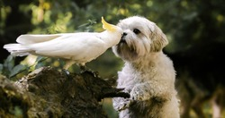 cockatoo kissing a little white hairy dog