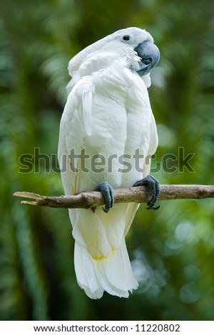 cockatoo on a tree - stock photo