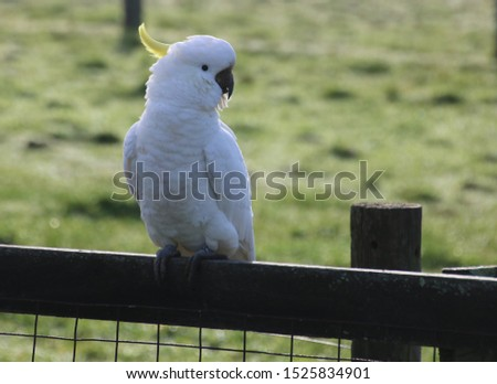 cockatoo perched on fence enjoying the sun