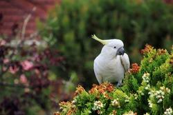 cockatoo sitting on pine tree, eating the seeds.