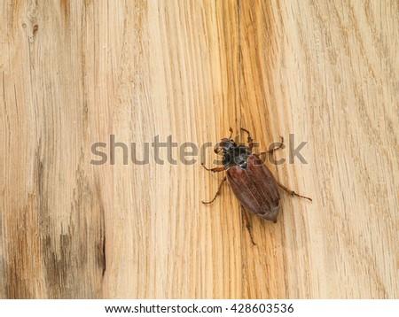 cockchafer creeps on a tree oak #428603536