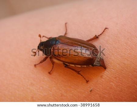 Cockchafer, May Bug