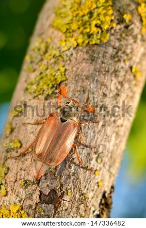 Cockchafer or May bug (Melolontha melolontha) in natural environment