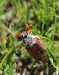 Cockchafer or maybug crawling in the grass