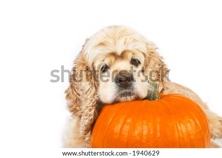Cocker spaniel and pumpkin isolated on white background