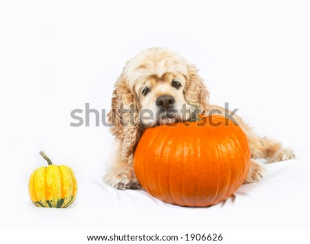Cocker spaniel and pumpkins isolated on white background - stock photo