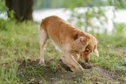 Cocker Spaniel dig a hole in the ground
