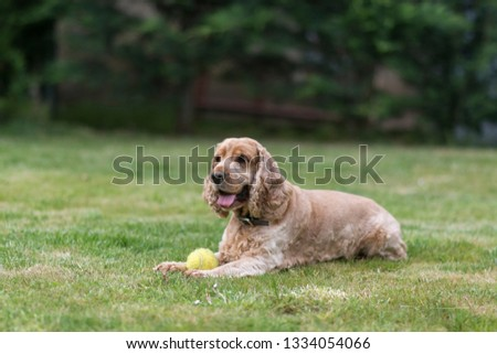 Cocker Spaniel dog lying on the grass playing with a ball #1334054066