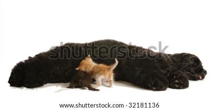 cocker spaniel dog nursing a litter of orphaned kittens
