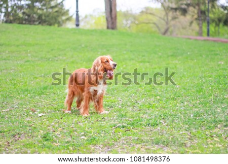cocker spaniel in a summer park #1081498376