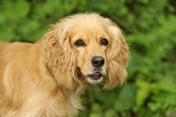 Cocker Spaniel is a closeup of a beautiful golden colored dog isolated on a soft outdoor nature background.