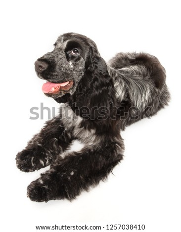 Cocker spaniel laying down isolated on a white background Zdjęcia stock ©