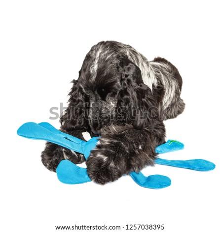Cocker spaniel playing with a blue plush toy Zdjęcia stock ©
