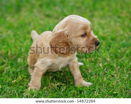 Cocker Spaniel Puppies on Cocker Spaniel Puppy Stock Photo 54872284   Shutterstock