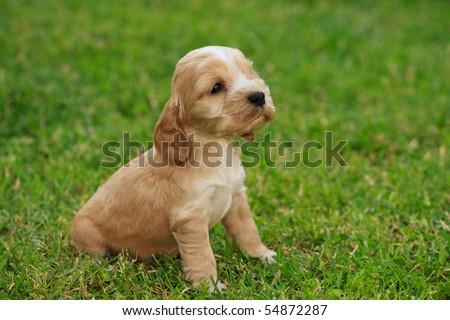 Cocker Spaniel Puppies on Cocker Spaniel Puppy Stock Photo 54872287   Shutterstock