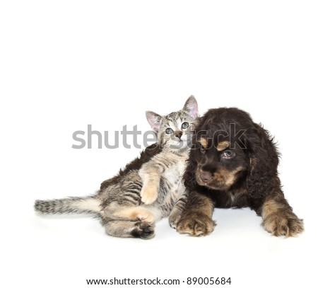 Cocker Spaniel puppy and cute kitten laying together on a white background