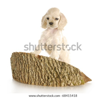 cocker spaniel puppy climbing on block of wood with reflection on white background