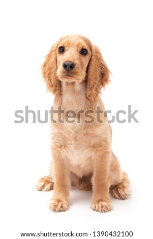 Cocker Spaniel puppy dog sitting isolated against a white background #1390432100