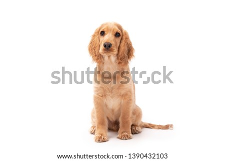 Cocker Spaniel puppy dog sitting isolated against a white background #1390432103