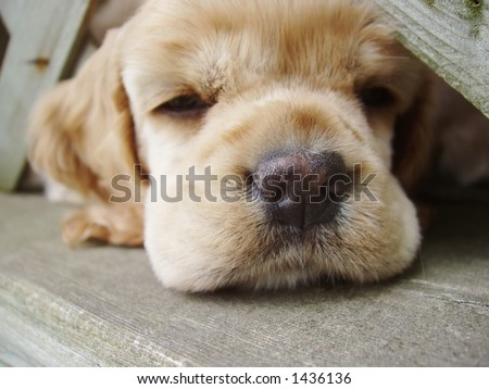 cocker spaniel puppy falling asleep with head under fence (6 week old, champion stock)