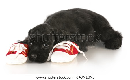 cocker spaniel puppy laying beside pair of shoes - dog chewing on chews