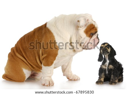 cocker spaniel puppy looking up at english bulldog puppy - odd couple
