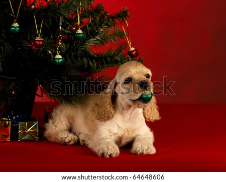 cocker spaniel puppy playing with christmas ornament under the christmas tree on red background