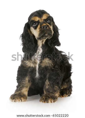 cocker spaniel puppy sitting with reflection on white background