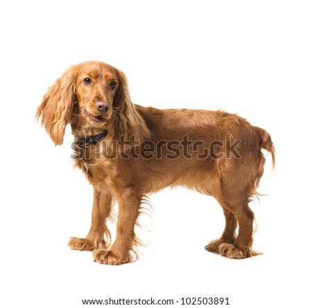 cocker spaniel standing isolated on white