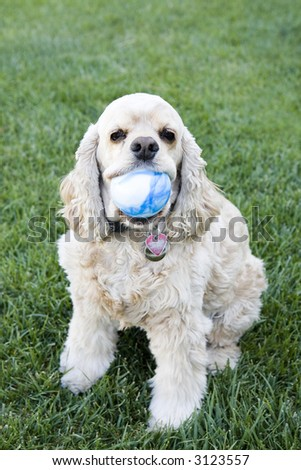Cocker Spaniel Waiting to play Fetch - stock photo