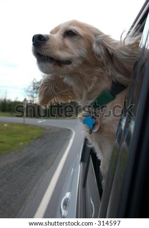 Cocker Spaniel with Head Outside the Car Window