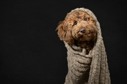Cockerpoo in blanket on a black slightly textured background