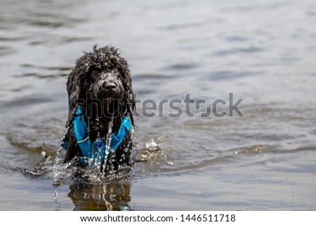 Cockerpoo swimming in Lake District