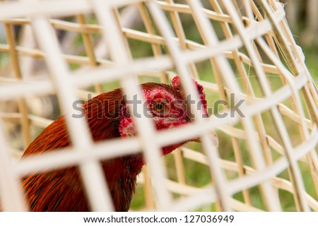 Cockfight in the Coop at Thailand