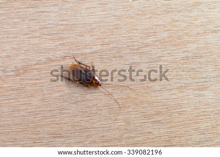 Cockroach (Blatta lateralis), also known as the rusty red cockroach on wood background. Wild life animal. #339082196